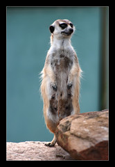 Sentry (Seeing Things My Way...) Tags: meerkat animal wildlife mother motherhood zoo dubbo nsw australia westernplainszoo tarongazoo