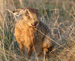5 Brown Hare, lovely summer evening, Elmley NNR (Jim_Higham) Tags: european eurasian brown hare sheppey isle island summer evening warm calm british english britain england wild nature natural mammal fastest land uk kent elmley trust national reserve