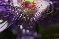 Passiflora Incarnata macro (_pkm_photography) Tags: pkmphotography2016 dslr nikon d3300 passiflora