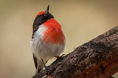 It's a bird, its a plane, no its........ (BlueberryAsh) Tags: woodlandshistoricpark birds maleredcappedrobin bird australianbird robin tamron 150600 nikon nikond750