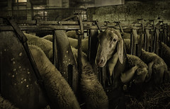 Sheep (Alessandro Vallainc) Tags: 28 sheep 24mm pancake country shepherd animals factory outdoor eos low light iso portrait countryside