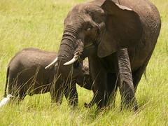Good Scratch ! (Mara 1) Tags: africa kenya masai mara wildlife elephants mother baby wild tree trunks ear eye legs tail face bird white egret grass green