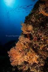 rise of the Barracudas (wild friday) Tags: mediterranean underwater marinelife nature gorgonian corals seafans
