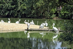 Le coin des plicans (Chemose) Tags: oiseau bird plican tang pond pelican eau water parcdesoiseaux park ain villarslesdombes dombe france canon eos 7d hdr juillet july summer