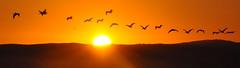 Dawn Patrol (uncle.dee9600) Tags: birds dawn pelicans telephoto nikon nikond7200