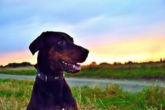 Rocky im Sonnenuntergang (robertpistor) Tags: nikon nikond5300 tamron tamron18200mmvc 18200mm sonnenuntergang hund dog dogs dobermannlabrador mischling dobermann labrador