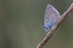 argus bleu( Polyommatus icarus ) Erdeven 160917a2 (papé alain) Tags: insectes papillons lépidoptères lycaenidae argusbleu polyommatusicarus erdeven morbihan bretagne france