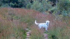 Charlie 22 weeks old (Mark Rainbird) Tags: canon charlie dog powershots100 puppy retriever uk ufton