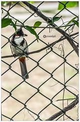 The greatest barrier to success is the fear of failure._Sven Goran Eriksson (Ramalakshmi Rajan) Tags: quotes birds bird inmygarden nikond5000 nikon nikkor55200mm bulbul