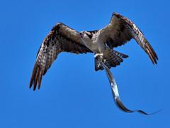Catch of the day (S.J. Trinidad & Tobago Nature) Tags: osprey bif birdofprey cutlass fish blue skies nature pic day stephenjay