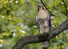 Red-tailed Hawk (Explored 9/23/2016) (JDA-Wildlife) Tags: birds birdsofprey raptors hawks hawkredtailed redtailedhawk nikon nikond7100 tamronsp150600mmf563divc newyorkbotanicalgardens jdawildlife johnny whatbirdbestofday explore explored