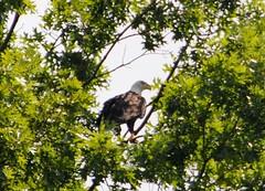 Bird of America (Cassicorn) Tags: bird birds eagle baldeagle bald american beautifulbird papasboatonaugust132012
