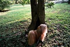 Charley explores the garden (Charley Lhasa) Tags: trip morning dog tree film grass 35mm garden nj natura scan fujifilm charley cherryhill lhasaapso fujicolor natura1600 lti fujicolornatura1600 klassew charleylhasa fujifilmklassew software:adobe=lightroom file:original=jpeg camera:fujifilm=klassew digitalminilab roll:number=kw0014 folder:name=7150 image:number=7150121785 date:uploaded=120815150935 set:name=lti332485c lti:scan=332485c set:name=kw0014 njaug2012 set:name=njaug2012 tumblr121127