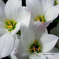 Lirios/Lilies (Altagracia Aristy) Tags: amrica dominicanrepublic lilies tropic caribbean antilles laromana caribe lirios carabe trpico antillas quisqueya repblicadomicana altagraciaaristy fujihs10 fujifinepixhs10 fujifilmfinepixhs10