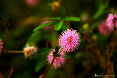 Mimosa pudica (ErzaWinanto) Tags: pink flowers plant flower macro green dark focus earth vibrant small rich deep tiny mimosa pudica