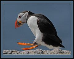 Happy Feet! (Rainbirder) Tags: ngc npc atlanticpuffin fraterculaarctica rainbirder