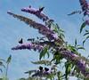 Butterfly Bush. EXPLORED (Paul (Barniegoog)) Tags: nature butterfly bush buddleia peacock
