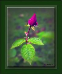 Rose Bud (starg82343) Tags: life shadow red plant flower nature wet floral leaves rose botanical dewdrops spring stem blossom border drop rosebud dew frame raindrops flowering growing blossoming bud botany 2d damp budding redbud brianwallace rosepedals
