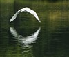 Egret flying over water (Samuel L Wright) Tags: egret whitebird flyingegret egretreflectioninwater egretflyingoverwater egretoverlake