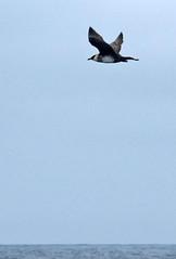 Pomarine Jaeger (K Schneider) Tags: jaeger pomarine stercorarius pomarinus