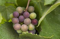 Baby Pinot Noir (pixelish) Tags: california food vineyard colorful noir wine small sonoma young vine winery valley grapes bunch napa pinot veraison vraison