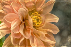 Dahlia (Digital Lady Syd) Tags: dahlia flower texture smudgetool paintedflower mixerbrush