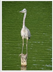 Mann, habe ich heute wieder einen Hals! - grey heron