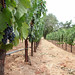 Jordan Winery Estate Malbec Vineyard