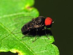 Big Red Eyed Fly Day Friday (zxgirl) Tags: alexandria animal animals bug insect virginia fly flash insects bugs va flies arthropods animalia arthropoda s5 arthropod diptera insecta dcr250 raynox aschiza img0122 platypezidae flatfootedflies platypezoidea