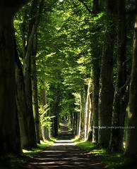 Tunnel of Trees (Trev-Taylor) Tags: perthshire drummond scottishlandscapes photographyscotland treespictures estatehighland linebeech picturesperthshire portrayphotographyperthshire trevtaylor photographercrieff