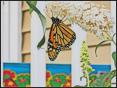 Monarch Butterfly - Photo by STEVEN CHATEAUNEUF - August 31, 2012 -This Image Was Edited On November 20, 2017 (snc145) Tags: flowers original summer vacation usa nature colors butterfly photography photo seasons image photos fineart maine picture porch railing soe butterflybush doorframe yorkbeach monarchbutterfly beautifulphoto photomemories flickraward thebestshot absolutelyperrrfect stevenchateauneuf ringexcellence flickrstruereflection1 august312012 pandaonflickr fromyoutous