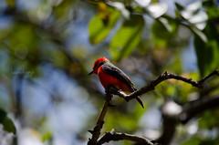 Pyrocephalus rubinus (ArangoLaura) Tags: red naturaleza flores bird primavera nature birds spring rojo birding aves colores ave birdwatching pájaro pajarito pyrocephalus rubinus ornitología pajareando