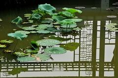Green (MelindaChan^^) Tags: china pink plant flower reflection water leaves mirror weed pattern waterlily lotus bokeh pinky mel bud melinda   sanshui hbw reflexlens  chanmelmel hggt melindachan