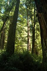Through the woods (John 3000) Tags: statepark park trees plants green nature arboles natureza redwoods bigbasin eastlakeandbigbasin0812