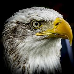 Eagle eyes (cupra_jamie) Tags: bird birds eagle baldeagle beak feather birdsofprey yahoo:yourpictures=yourbestphotoof2012