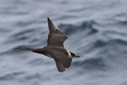 <p>Often on pelagic trips many of the jaegers are immature and very difficult to identify. This is a fully adult, breeding plumaged, Parasitic Jaeger. It has a mid-length sharp tail streamers, a broad dark cap (more restricted on the Long-tailed Jaeger), and entirely uniform upperwings, a feature it shares with the Pomarine, but not Long-tailed. </p>