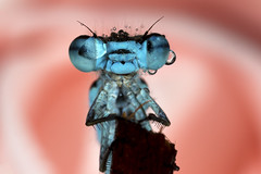 Damselfly (Muzby1801) Tags: above family blue autumn summer hairy baby colour detail macro eye nature beautiful up canon insect lens creativity spider photo interestingness spring fight amazing nice interesting eyes funny close wasp cross dragonfly wildlife ant extreme watch great bugs 100mm best frog sharp bee bbc tiny crop times 28 manual common popular lifesize damselfly armour emerald mimic antenna hoverfly sensor damselflies hairs polarization 4x stacker mpe 65mm 3x springwatch 5x photostack zerene 60d countryfile macrolife