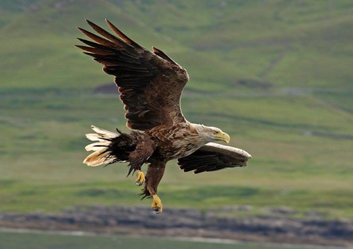 Sea eagle mull Charters 1
