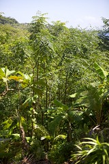 IMG_2010 (S&PF, USFS Pacific Southwest Region) Tags: mapping fia 2012 pacificisland americansamoa invasivespecies usfs tutuila fhp redbeadtree adenantherapavonina pacificsouthwestregion byleozliu foresthealthprotection