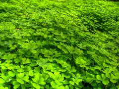 Hoy puede ser tu día de suerte! (Felipe Aros) Tags: nature hdr valdivia treboles photomatix