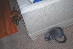 Gracie & Millie 19 August 2012 0002b 4x6 (edgarandron - Busy!) Tags: cats cute cat gracie feline tabby kitty kitties tabbies millie graytabby patchedtabby