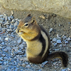 Golden-mantled Ground Squirrel (njchow82) Tags: nature animal closeup wildlife banffnationalpark morainelake canadianrockies goldenmantledgroundsquirrel specanimal nancychow canonpowershotsx30is