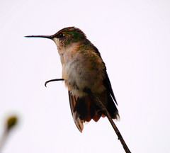 Female Ruby (ed gruhlke) Tags: life camera november shadow summer portrait sky usa macro tree cute bird art love nature beautiful beauty silhouette speed geotagged photography fly flying photo amazing cool nikon friend midwest perfect flickr hummingbird image sweet pics good quality live gorgeous tag magic awesome small flight beak feathers picture feather indiana pic tags vision tiny stunning iphoto nectar neat lovely dslr capture hummer tagging epic brilliant timeless comment kewl kool 2012 unbelievable iphone picoftheday captivating friendme iphoneography