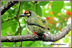 2474 - coppersmith barbet (chandrasekaran a 560k + views .Thanks to visits) Tags: india nature birds chennai coppersmith barbet thegalaxy powershotsx40hs