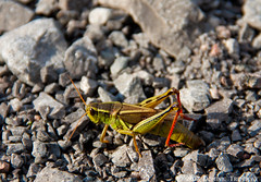 Kriket (.-=[ D.T. ]=-.) Tags: green nature insect bee beatle grasshopper