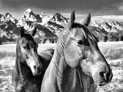 Horses at the Tetons - black and white - cartoon style (Ronnie Wiggin) Tags: travel sky horses usa mountains fall nature field animal landscape outdoors nikon day fallcolors wildlife jackson swimmer mountmoran grandtetons tetons jacksonhole scenics tetonrange mountainrange grandtetonnationalpark aspentree d300 teatons fallfoilage buckmountain mtmoran jacksonwy snowcoveredmountains middleteton mtowen thethreebreasts teewinotmountain staticpeak teetons nikond300 hedrickpond lestroisttons dcpt tetonparkrd mtwister dirtcheapphototours nezpercepeak rwigginphotos ronniewiggin ronniewiggin stjohnmountainmtmoran