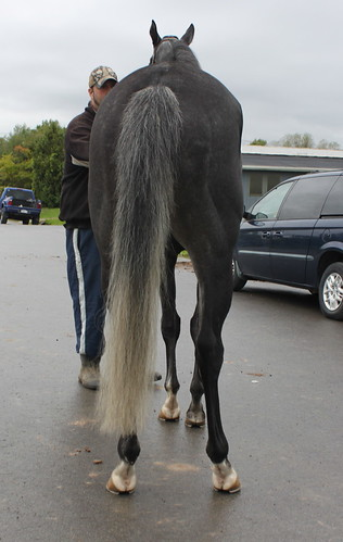Next Top Model 6 Year Old Grey 16 1 Mare Finger Lakes
