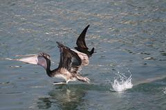 Payback's a Pelican (Steve Byland) Tags: brown gull pelican larus occidentalis pelecanus heermanni heermanns