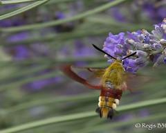 Quand a gaze, a gaze... (Rgis B 31) Tags: insectes jardin papillon lpidoptres sphinx sphinxgaz hemarisfuciformis lavande fleur hautegaronne calmont