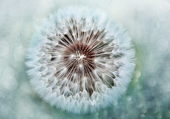 make a wish3 (Weirena) Tags: flickr weirena fineartphotography nature dandelions wallart ireneweisz austria macro colors fineart motivational flowers